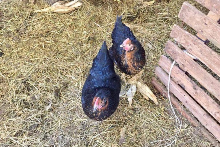 Le galline razzolano libere