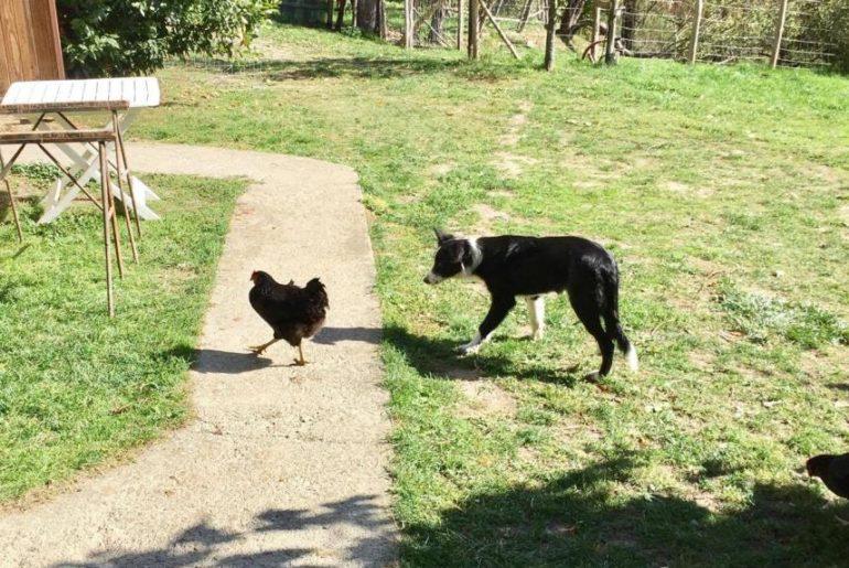 Becky oggi sta puntando le galline, con aria minacciosa. Però non ne ha mai aggredita una.