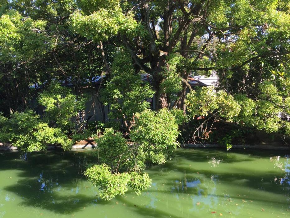 I maestosi alberi che si allungano sul laghetto
