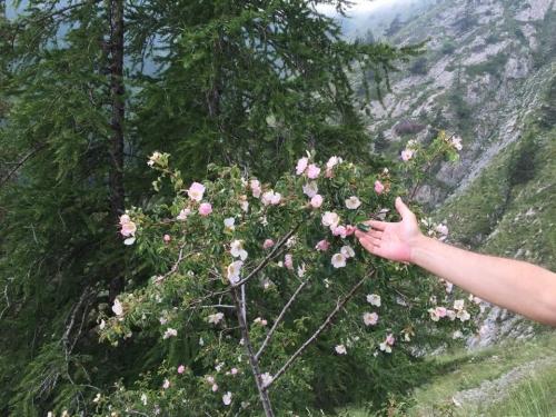 Le rose selvatiche sulla sterrata per il Monte Grai. Maggio e giugno sono i mesi delle fioriture