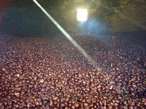 Le castagne ad essiccare nel metato