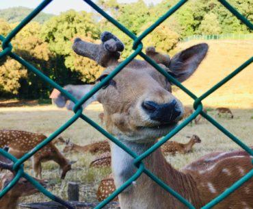 Daini nel parco villa duchessa di Galliera