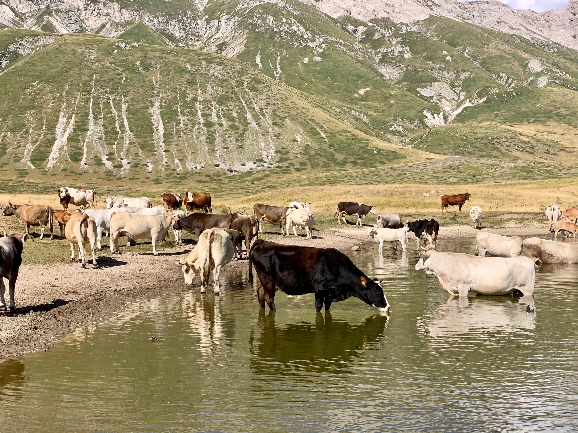 Gran Sasso, mucche che si abbeverano nel laghetto